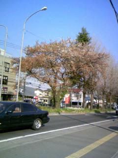 散歩(桜)